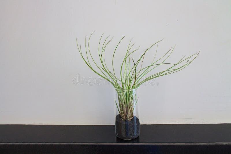 Зеленое растение в почве в стекле на керамическом крае countertop на предпосылке серого гипсолита стоковые изображения