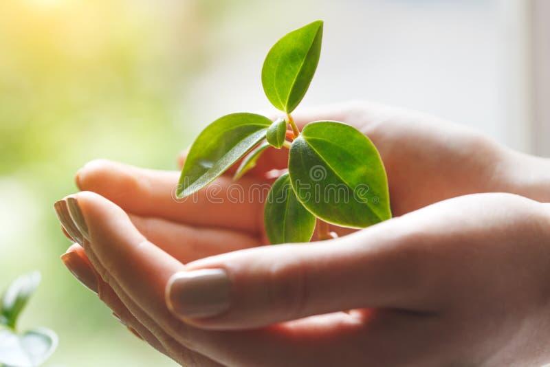 Зеленое растение в руках молодой женщины, охрана окружающей среды, экологичность стоковые изображения