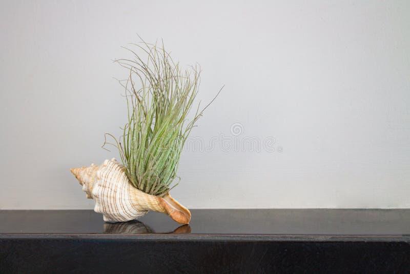 Зеленое растение в seashell на керамическом крае countertop на предпосылке серого гипсолита стоковое фото rf