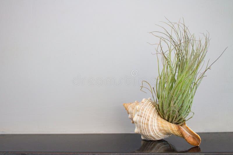 Зеленое растение в seashell на керамическом крае countertop на предпосылке серого гипсолита стоковое фото