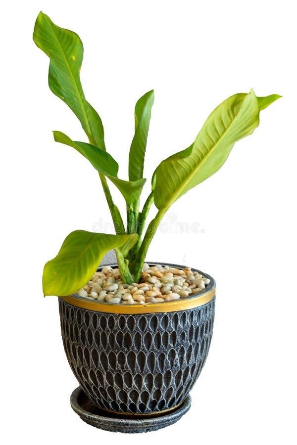Зеленое растение на белой изолированной предпосылке стоковое фото