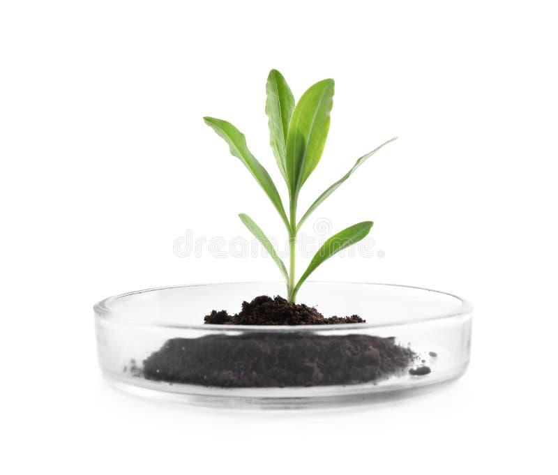 Зеленое растение с почвой в чашке Петри изолированной на белизне biofeedback стоковое изображение