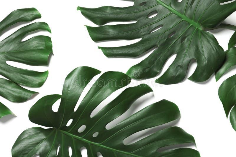 Зеленое свежее monstera выходит на белую предпосылку, взгляд сверху Тропический завод стоковые фотографии rf