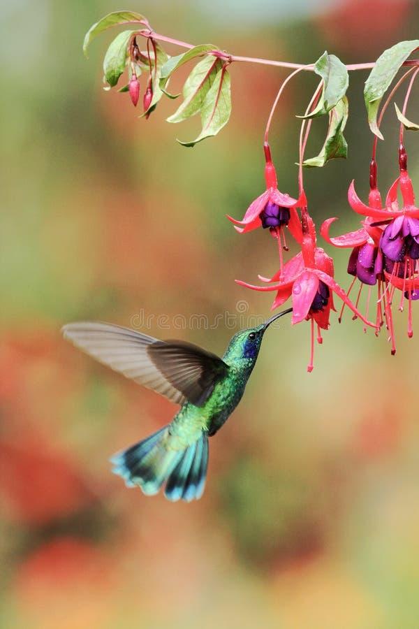 Зеленое фиолетов-ухо от Коста-Рика, Savegre стоковые фотографии rf