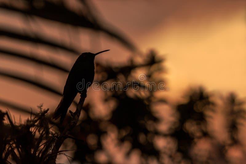 Зеленое фиолетов-ухо сидя на ветви, колибри от дождевого леса, Колумбии, perchin птицы на заходе солнца в саде, ясной предпосылке стоковое фото