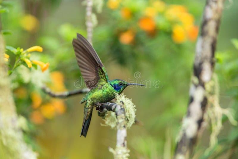 Зеленое фиолетов-ухо сидя на ветви, колибри от тропического леса, эквадора, птицы садясь на насест, крошечной птицы с протягиванн стоковое фото
