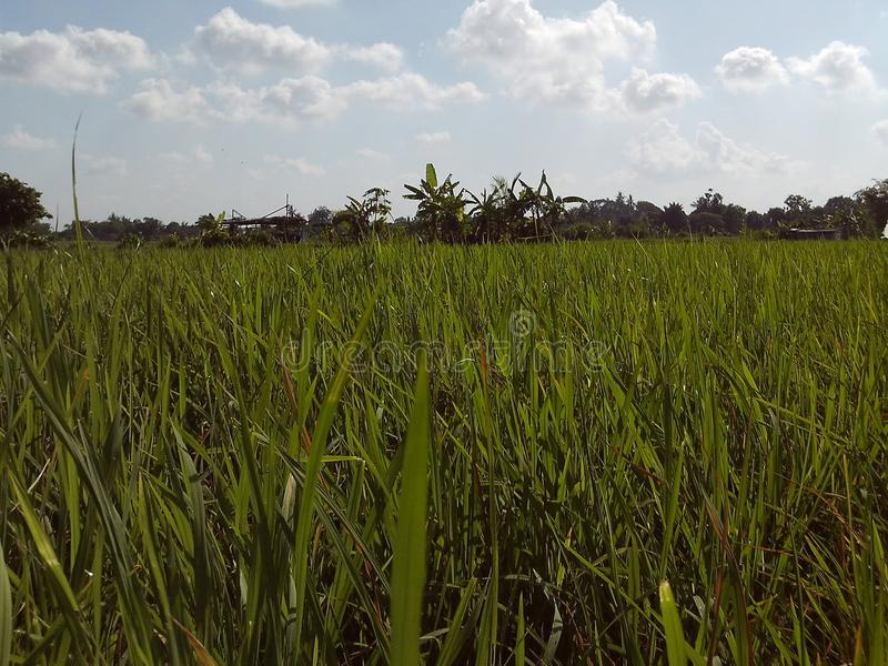 Зеленое фото ricefield стоковая фотография rf