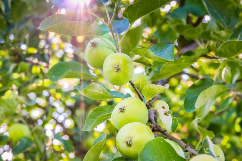 Зеленое яблоко на ветви против голубого неба и солнца стоковое фото rf