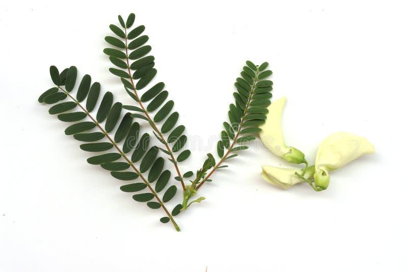 Зеленое agasta с лист: Sesbania grandiflora, дерево Aeschynomene, agati или колибри смогите съесть этот цветок как овощ или стоковое фото