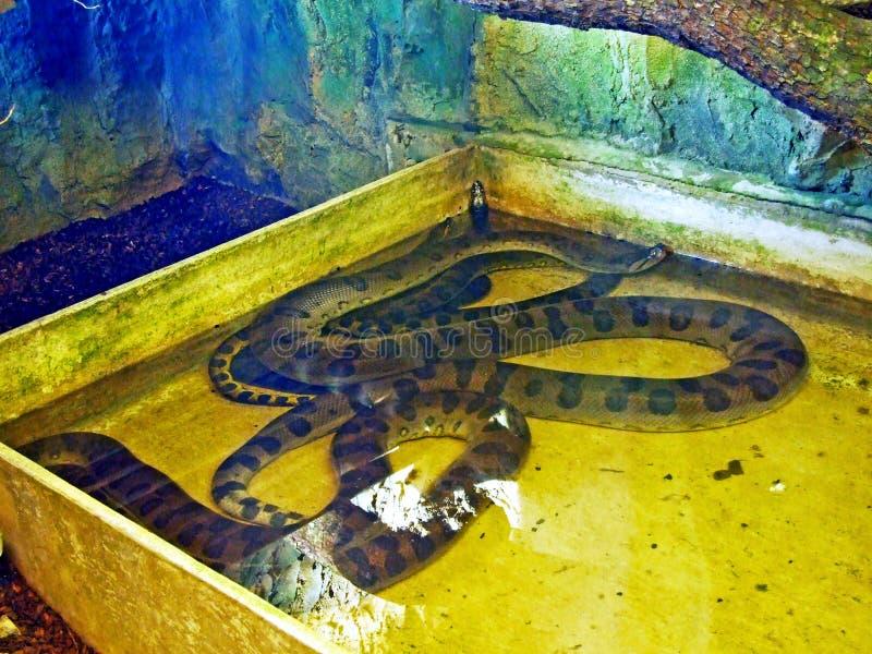 Зеленое murinus Eunectes anaconda, общий anaconda, общая горжетка воды или ne Anakonda ¼ Grà п стоковые изображения rf