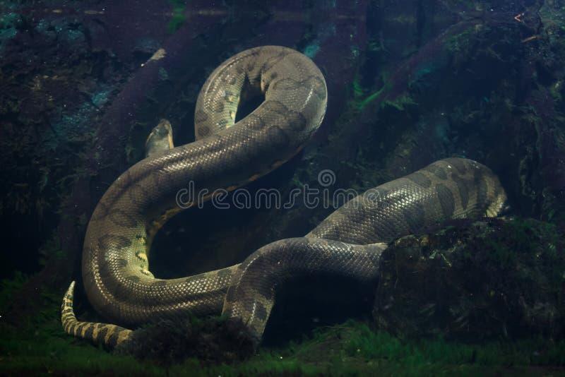 Зеленое murinus Eunectes anaconda стоковая фотография