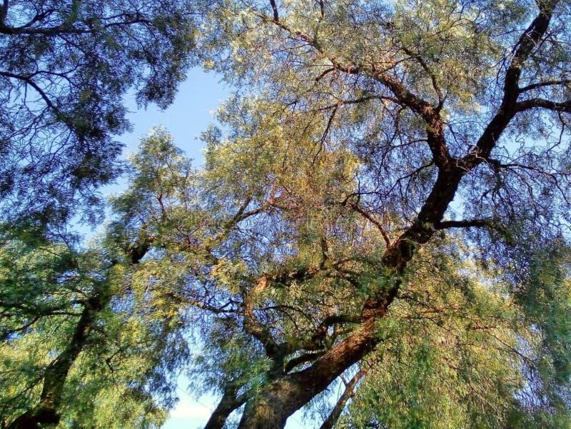 Зеленое Roble, Stong и настолько богатое в листьев природе так стоковое изображение