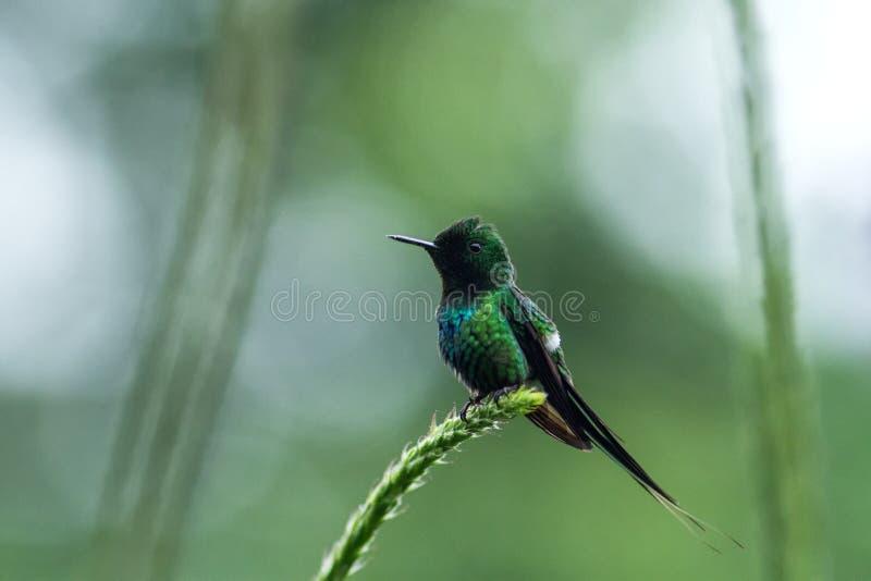 Зеленое thorntail сидя на цветке, птице от леса горы тропического, Коста-Рика, птицы садясь на насест на ветви, крошечный красивы стоковые изображения rf