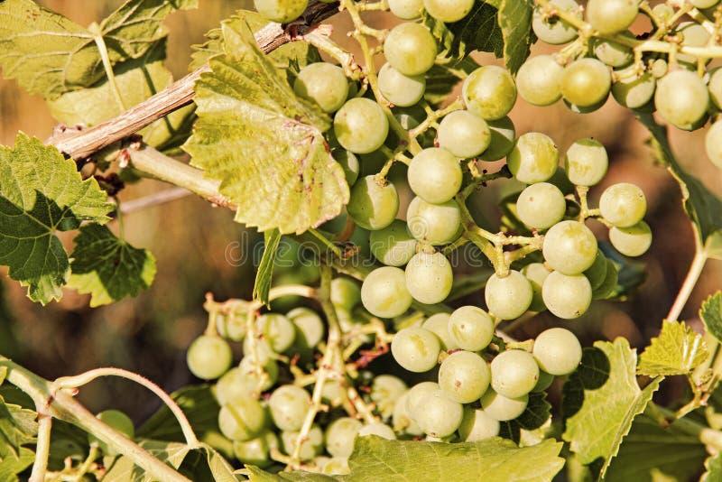 Зеленой крупный план принятый виноградиной стоковые фото