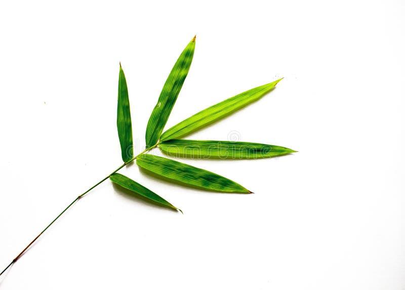 Зеленые бамбуковые лист на белой предпосылке Одиночные бамбуковые лист стоковое фото