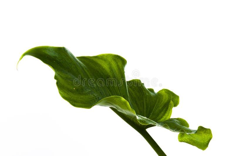 зеленые большие листья стоковое изображение rf