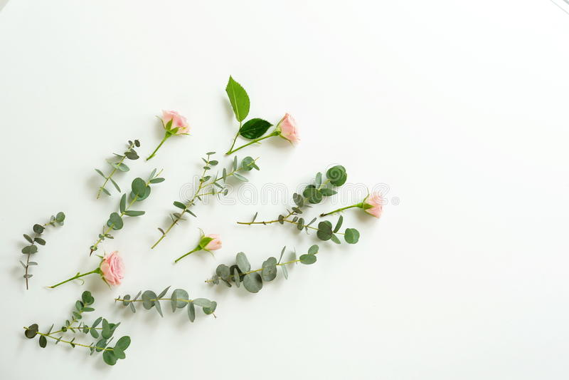 Зеленые ветви евкалипта и розовые розы на белой предпосылке стоковая фотография