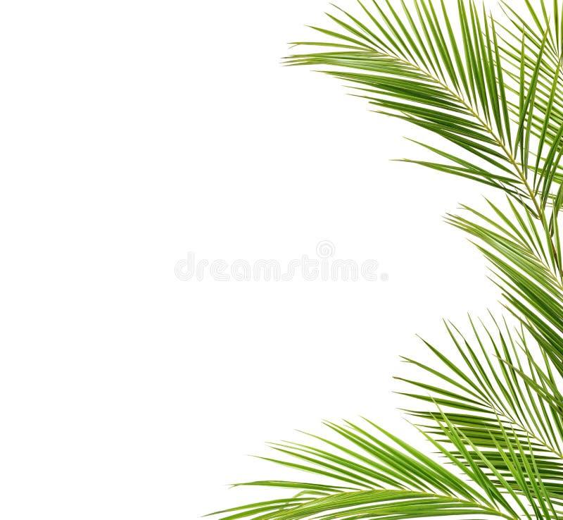 Зеленые ветви ладони в рамке стоковое изображение