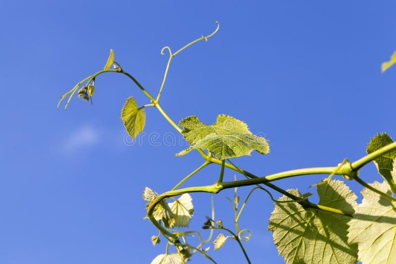 Зеленые виноградины стоковое фото rf