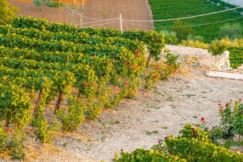 Зеленые виноградники в сельской местности в Апулии стоковое изображение rf