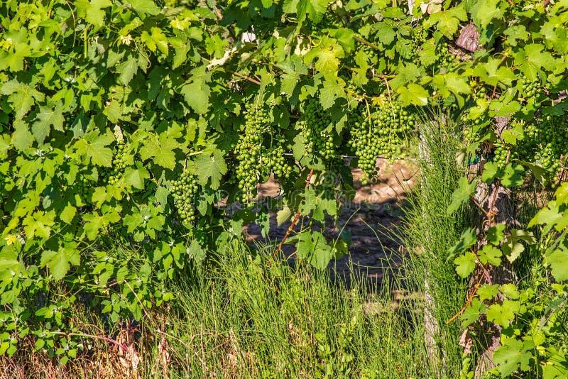Зеленые виноградники стоковое изображение