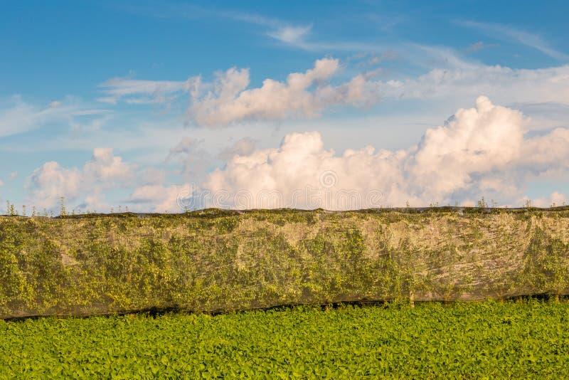 Зеленые виноградники стоковые изображения rf