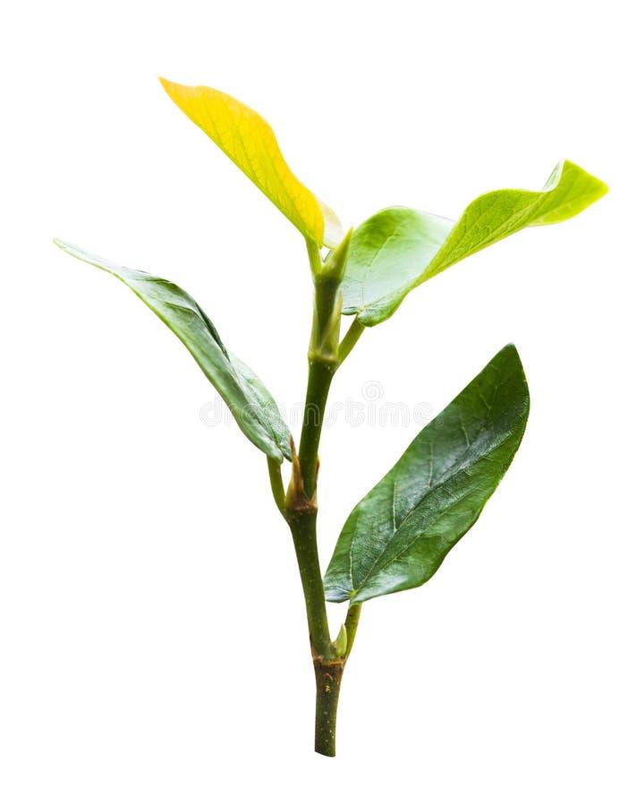 Зеленые густолиственные всходы, верхняя часть листьев изолированных на белой предпосылке стоковое изображение rf