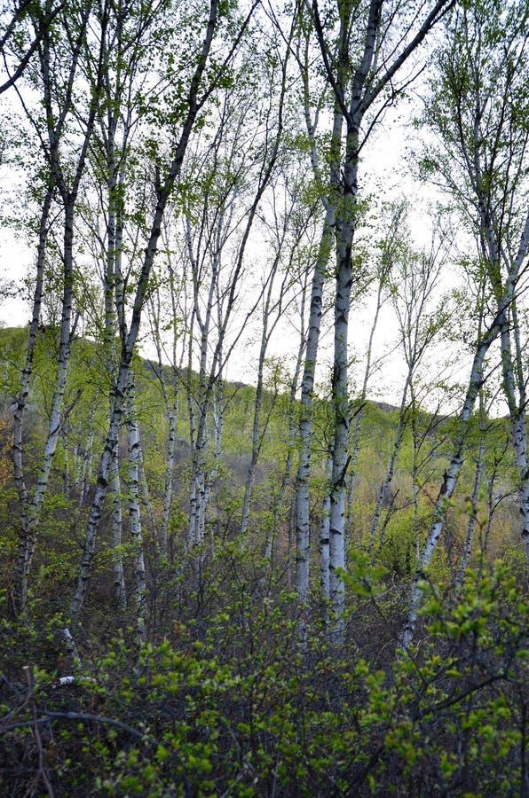 Зеленые деревья березы в лесе стоковое изображение