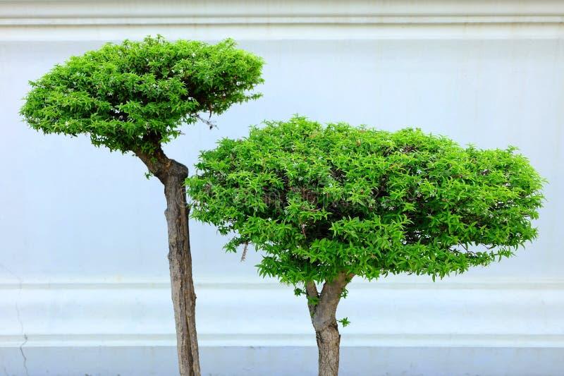 Зеленые деревья с белой предпосылкой бетона краски стоковая фотография rf