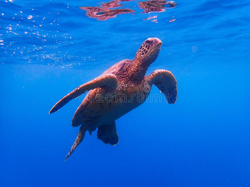 Зеленые заплывы морской черепахи к поверхности, который нужно вздохнуть в открытом море стоковые изображения