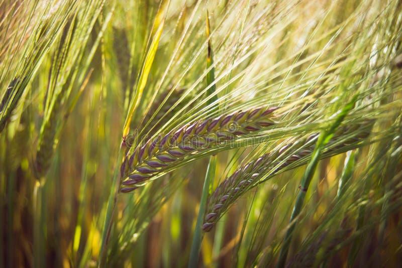 Зеленые зерна весны пшеницы, конца вверх ушей пшеницы на поле стоковые фото
