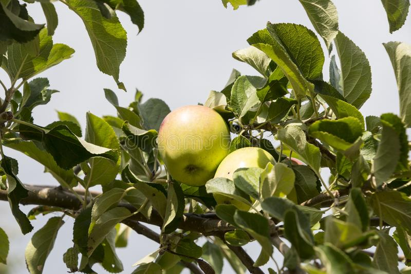 Зеленые зрелые яблоки на предпосылке голубого неба ветви яблони стоковые фото