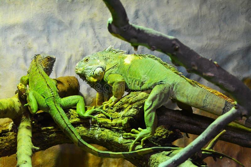 Зеленые игуаны в их окружающей среде стоковое фото