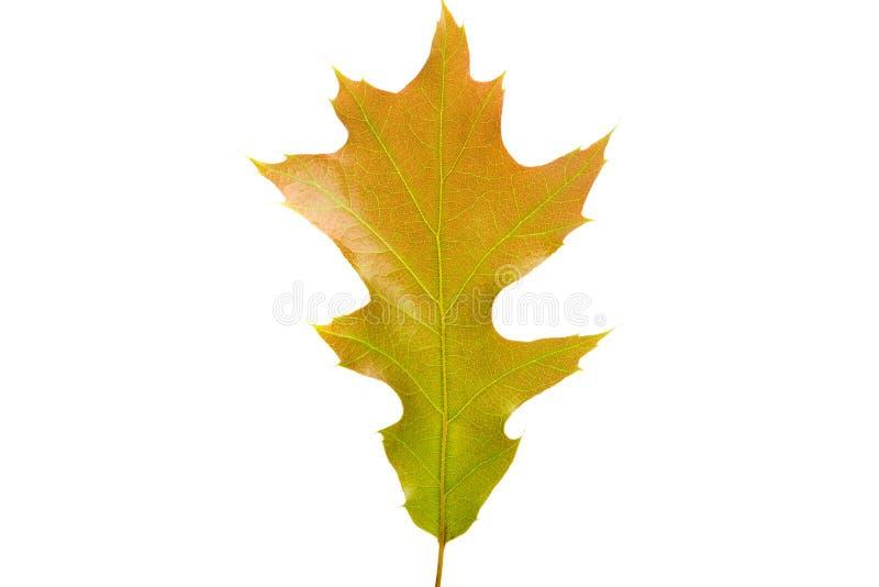 зеленые изолированные лист дуба стоковые изображения rf
