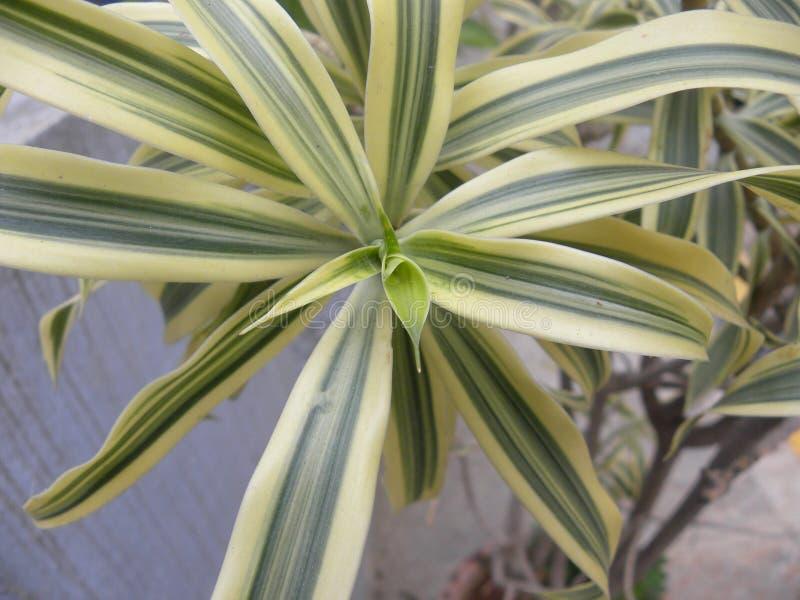 Зеленые и желтые листья карлика Variegated завод лилии льна стоковая фотография rf