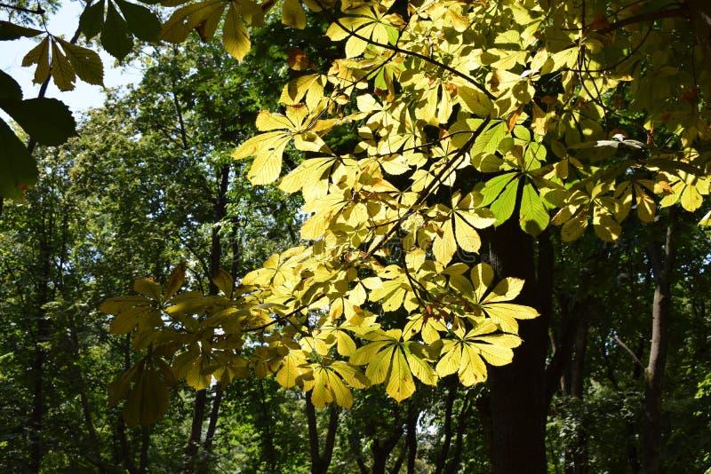 Зеленые и желтые листья каштана в солнечном дне на парке или лесе стоковые фото