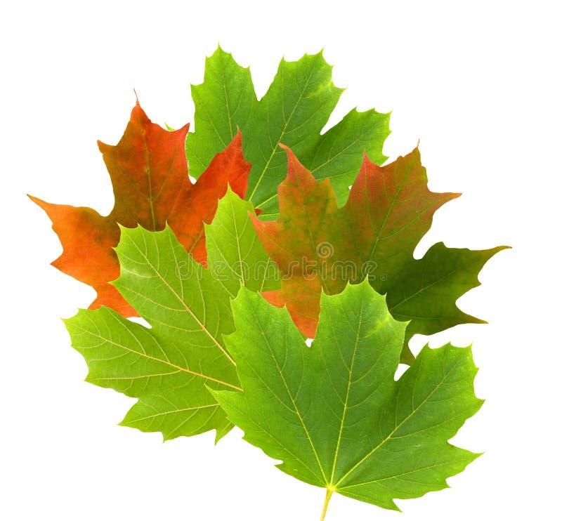 Зеленые и красные кленовые листы стоковое фото