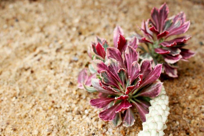 Зеленые и красные лист завода кактуса на коричневом песке для предпосылки или обоев стоковое фото rf