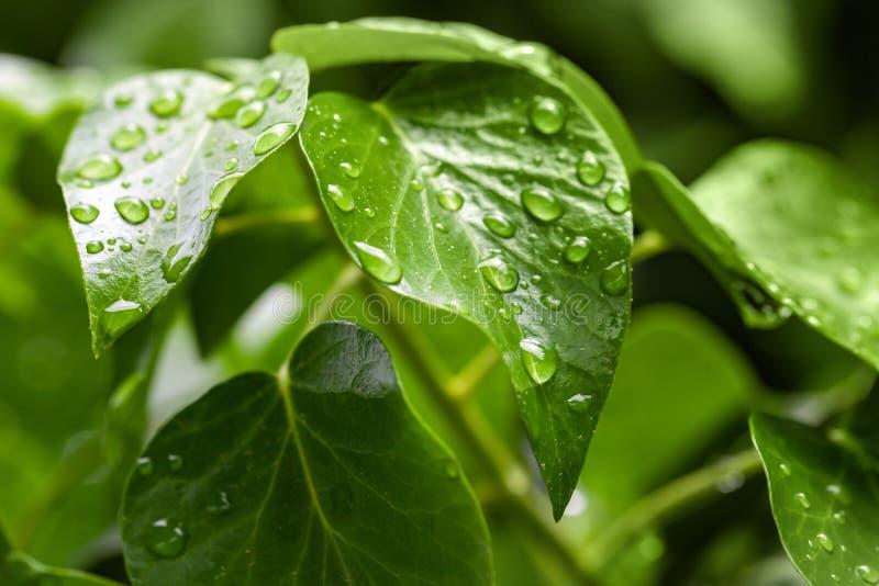 Зеленые капельки листьев и воды стоковое изображение rf