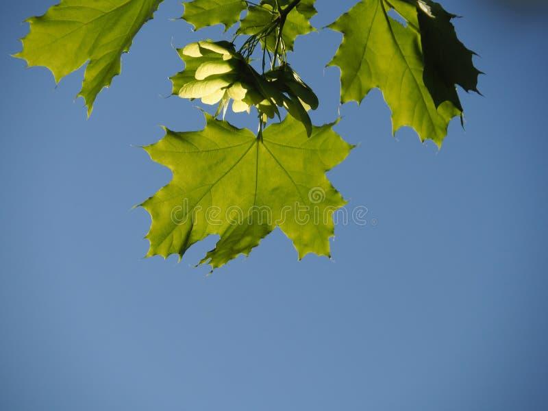 Зеленые кленовые листы на конце-вверх голубого неба стоковые фото