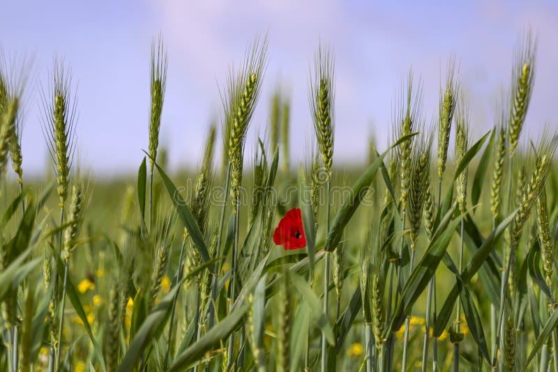 Зеленые колоски пшеницы с красным цветком мака между ими на запачканной предпосылке поля с желтыми цветками стоковая фотография