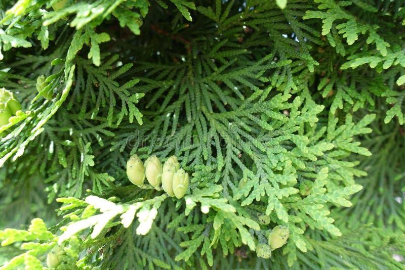 Зеленые конусы листвы и семени occidentalis туи стоковые фотографии rf