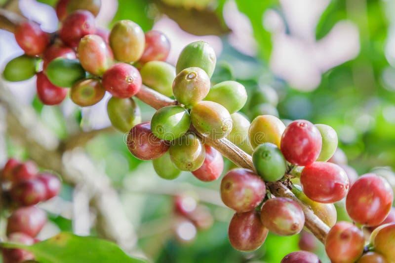 Зеленые кофейные зерна растя на ветви сырцовое кофейное зерно на плантации дерева кофе Кофейное зерно крупного плана свежее сырцо стоковое изображение rf
