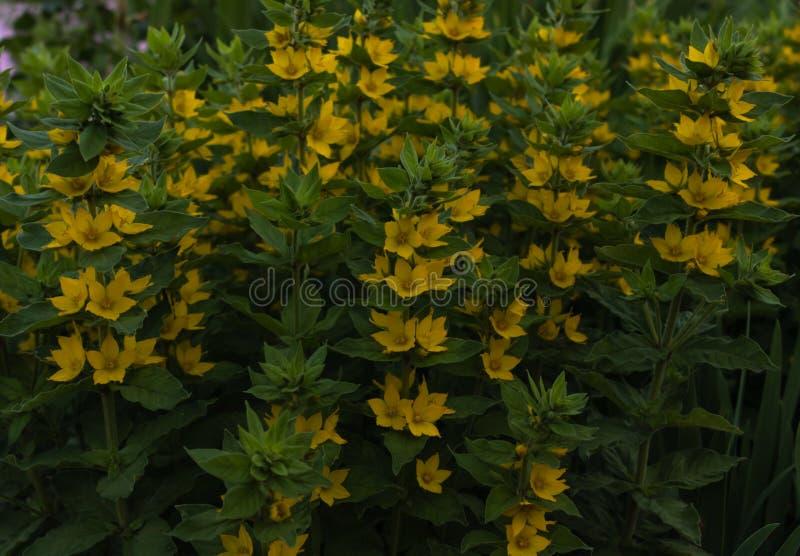 Зеленые кусты плотно поставленные точки с желтыми цветками в освещении облачного неба стоковые фотографии rf
