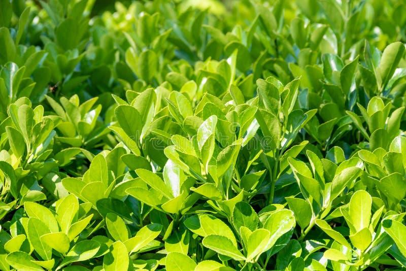 Зеленые кусты с уравновешенными ветвями и молодыми листьями стоковые фотографии rf