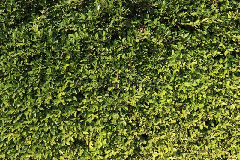 Зеленые листья баньяна, предпосылки annulata фикуса стоковые изображения rf