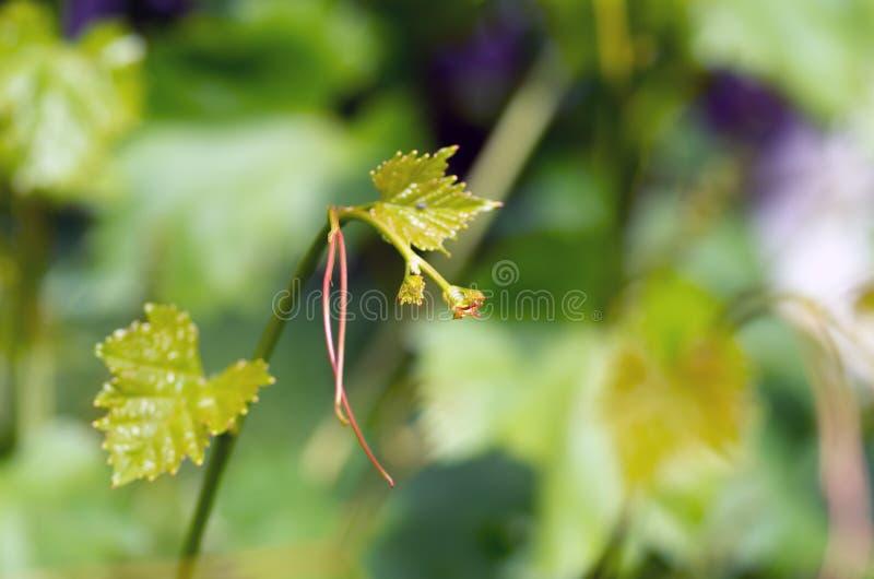 Зеленые листья виноградины и усик, предпосылка весны стоковые изображения
