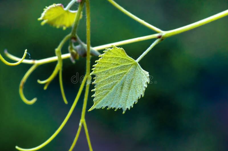 Зеленые листья виноградины и усик, предпосылка весны стоковое фото