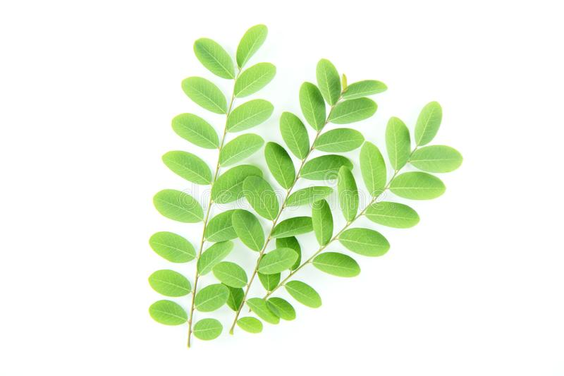 Зеленые листья дикого тамаринда на изолированной белой предпосылке стоковое фото