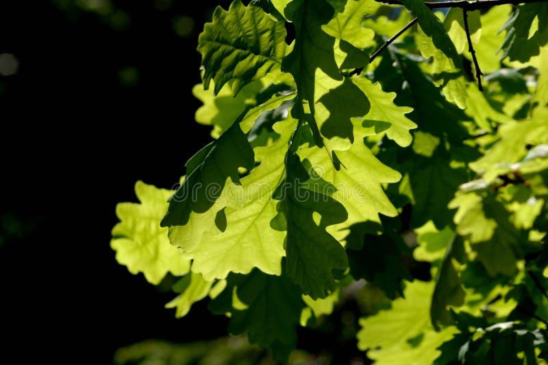 Зеленые листья дуба в солнце стоковое фото